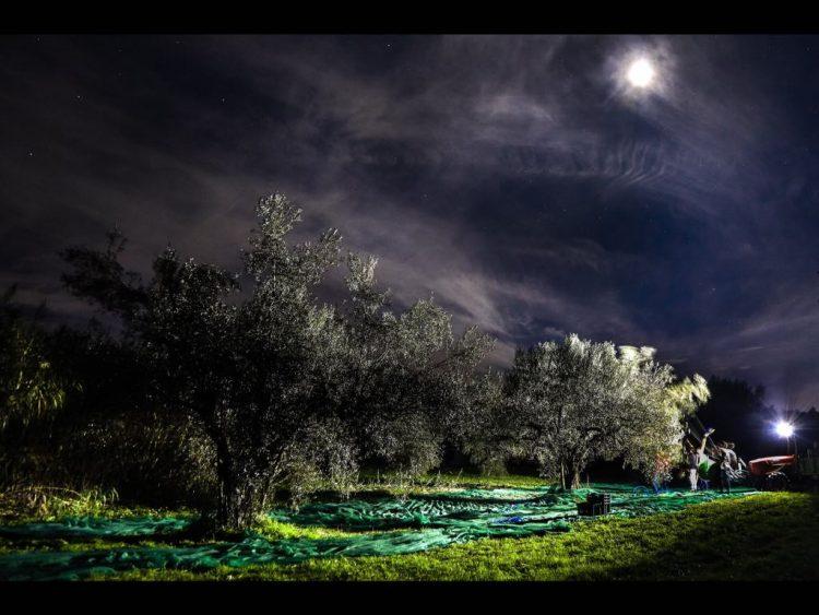 """Tuscia, la storia del recupero di oliveti abbandonati dà vita a un Olio """"…di Notte"""""""