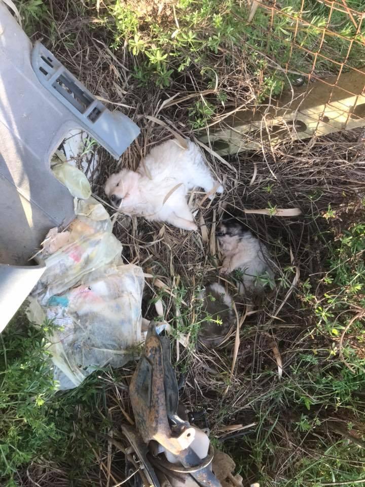 Tre cuccioli maremmani massacrati a bastonate e abbandonati tra i rifiuti