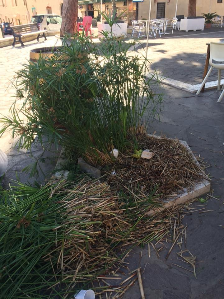 Tosato arbusto di papiro in piazza Trieste: è polemica