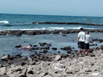 Santa Marinella, rinvenuto delfino morto in zona Capolinaro