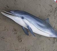 È strage di delfini nel mar Tirreno
