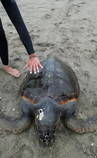 Tartaruga morta a Fregene:uccisa dalla crudeltà umana?