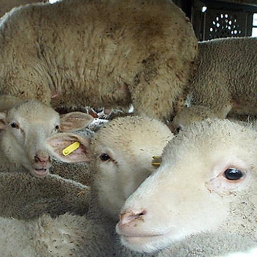 Trasporto irregolare di ovini: sanzioni per oltre 12mila euro
