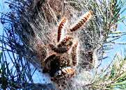 Al via il trattamento fitosanitario per la lotta alla processionaria del pino