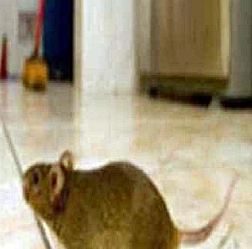 Focene, scuola chiusa per topi