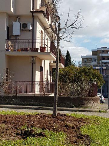 Tarquinia, piantati due alberi di mimosa e un tiglio
