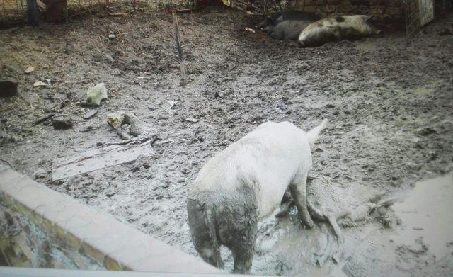 Dà in pasto ai maiali le pecore morte