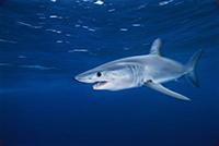 Mediterraneo, squali a rischio