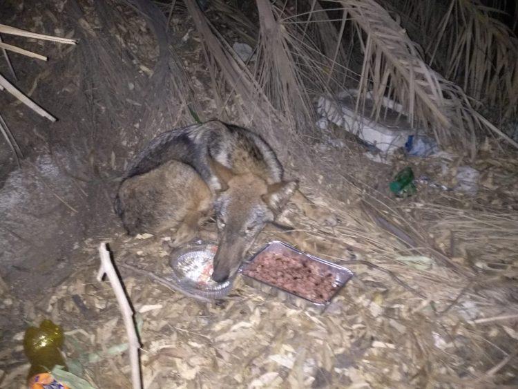 Salvato un lupo ferito alla Scaglia