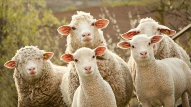 Al porto arrivano 1000 pecore per i pastori terremotati