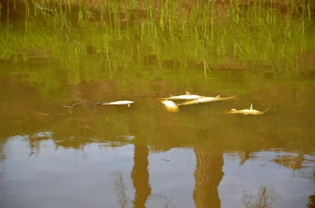 Morìa di pesci a Fiumicino