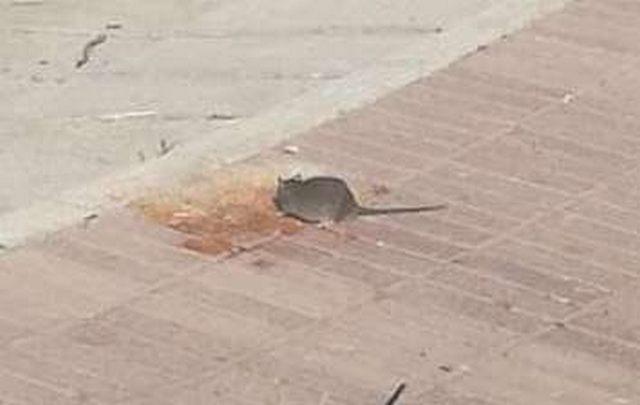 Anche la Marina nel degrado: e in spiaggia scorrazzano i topi
