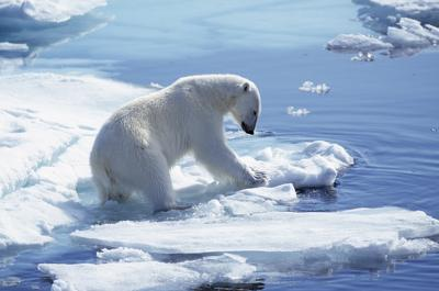 L'orso polare va verso l'estinzione