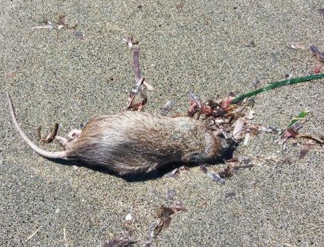 Topo morto in spiaggia scatena il putiferio