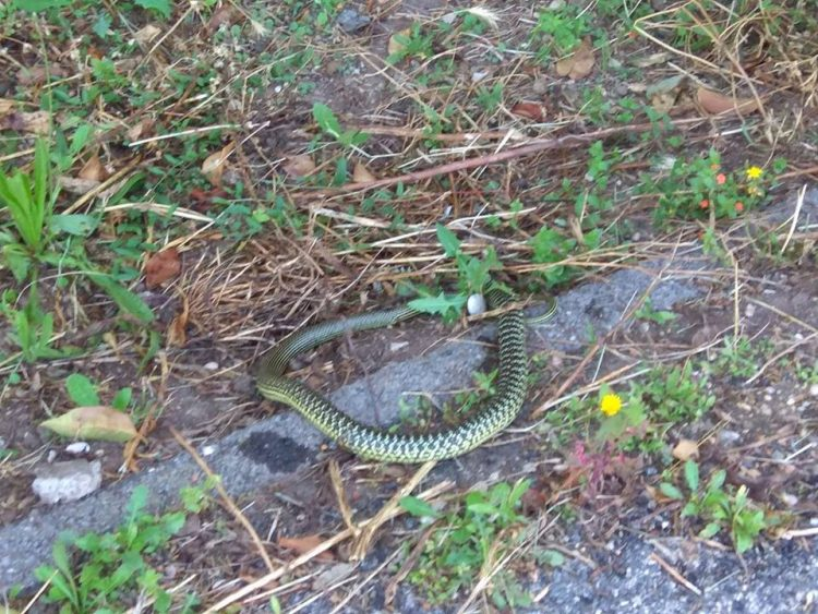 Ladispoli, invasione di serpenti nei fiumi e nei giardini