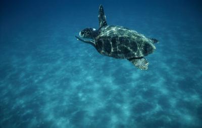 A rischio estinzione la tartaruga verde della barriera corallina
