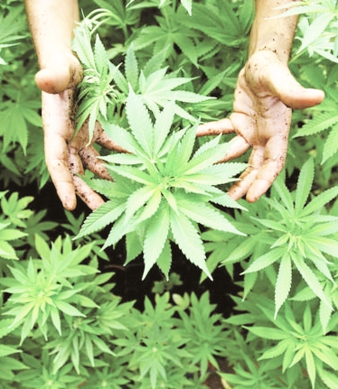 Al via il progetto per la coltivazione della canapa