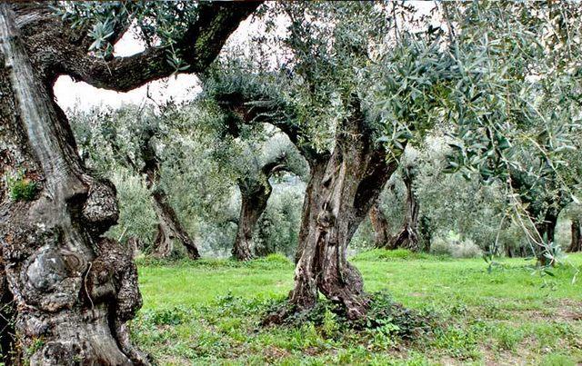 Tracce di dna etrusco negli olivi civitavecchiesi