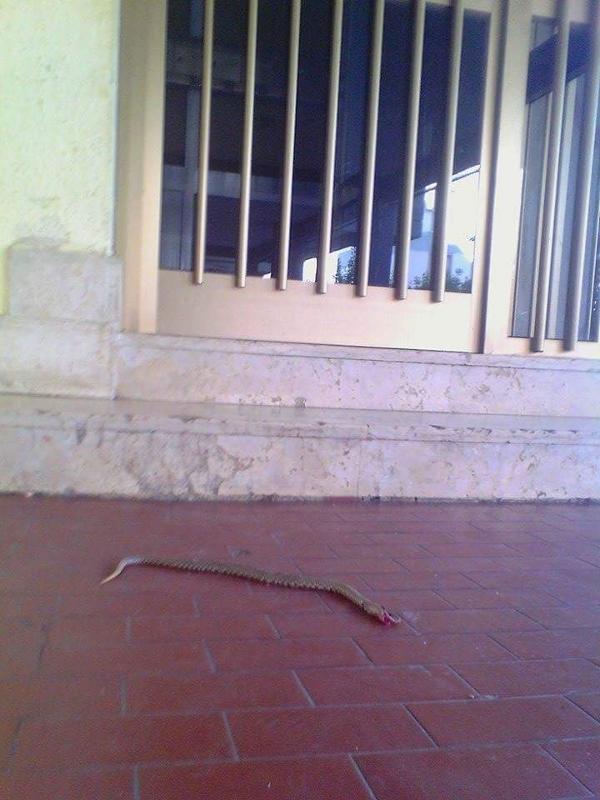 Una vipera in cortile: i residenti fanno appello al Pincio