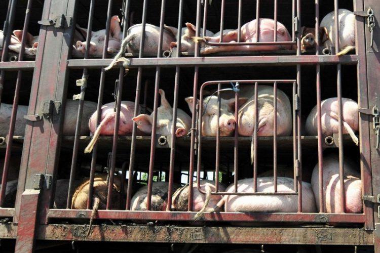 Duecento maiali stipati in un tir: intervento della Polstrada