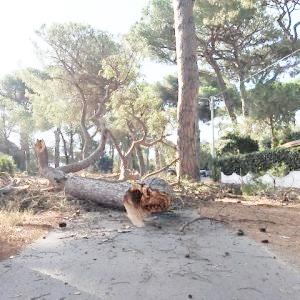 Crollo nella pineta