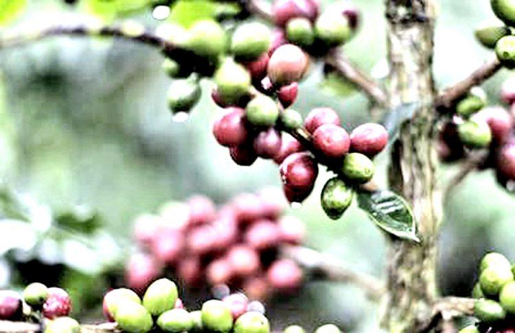 Clima, a rischio la metà delle coltivazioni mondiali di caffè