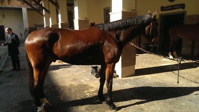 Un cavallo della Roccaccia entra nel corpo dei Corazzieri