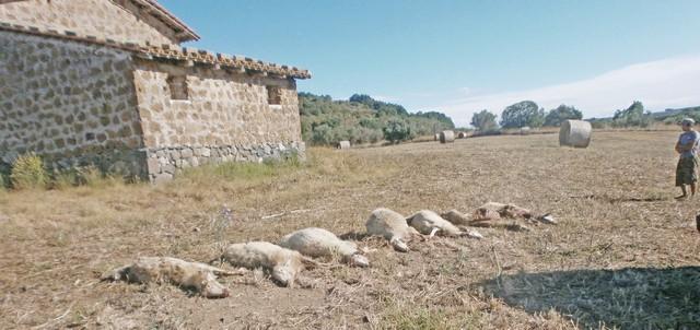 Pecore sbranate da un branco di lupi