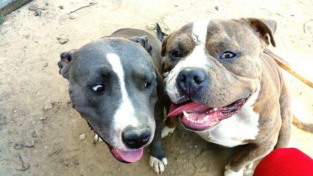 Pit bull incustoditi, intervento di Polizia locale e Asl