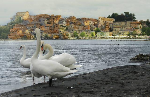 I cigni (foto Mauro Mari)