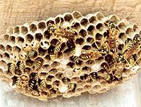 Nido di vespe nella scuola elementare