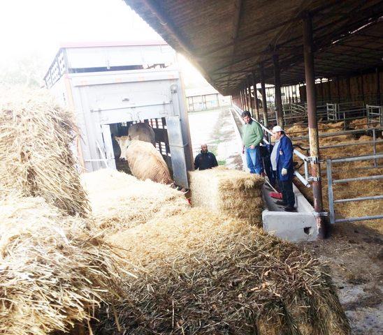 La Maccarese ''adotta'' 34 bovini