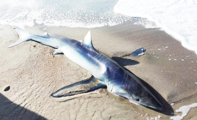 Spiaggiato uno squalo femmina incinta. L'animale ucciso da un pesce spada