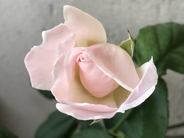 Rosa rosa (foto Adalberto Bencini)