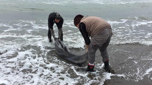 Delfino spiaggiato a Montalto, salvato