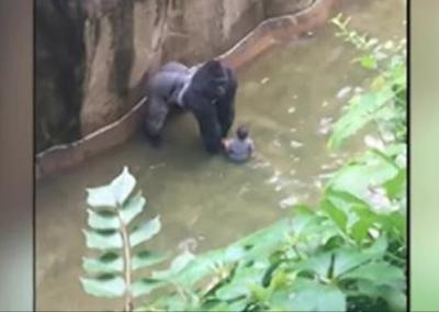 Bimbo cade nel fossato del gorilla: animale abbattuto, salvo il piccolo