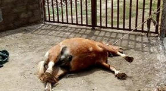 Ladispoli, Pony trovato morto legato ad un cancello