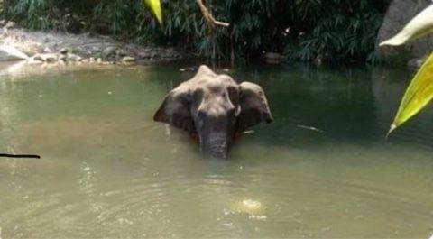 Elefantessa incinta uccisa da ananas esplosivo: rabbia e indignazione