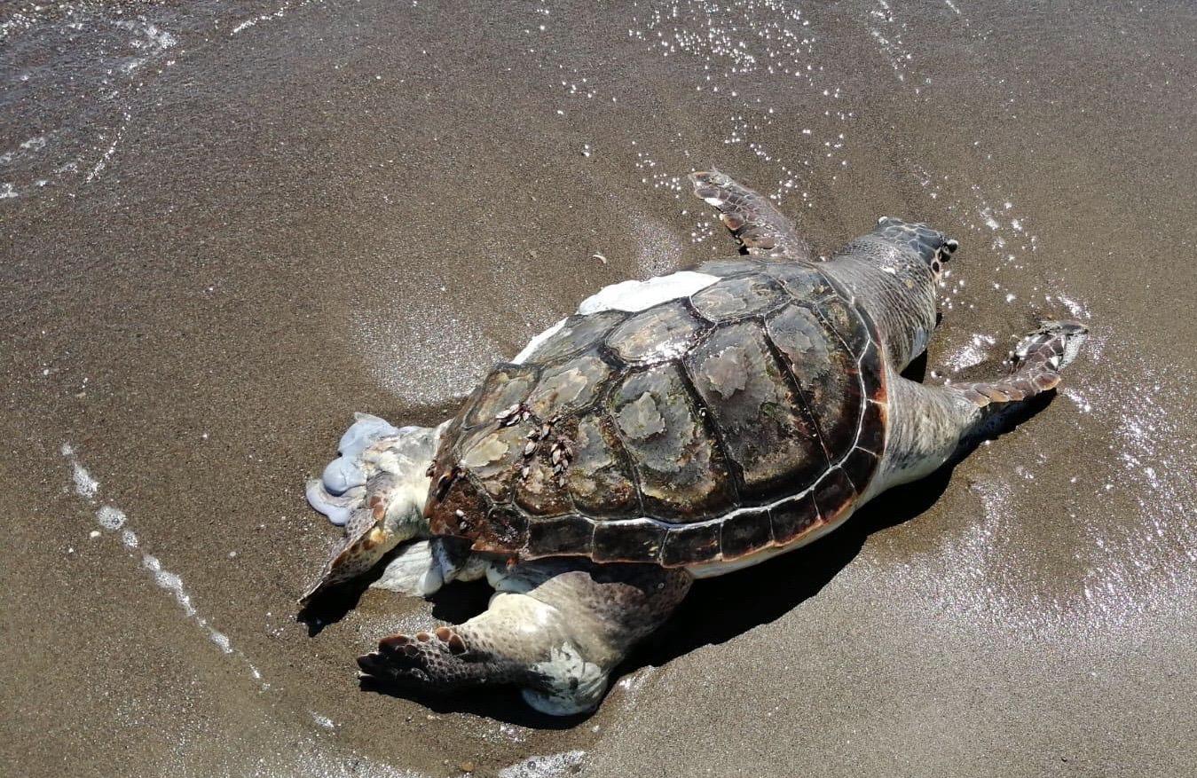 Tartarughe marine, record di nidi sulle spiagge italiane
