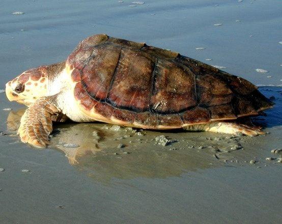Tartaruga gigante depone uova sulla spiaggia di Santa Marinella