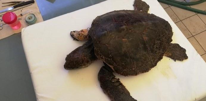 Tartaruga senza pinna e con la lenza      ancora in bocca salvata a Fregene