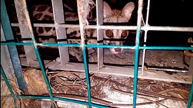 Genetta pardina a spasso per la città: l'avvistamento tra le colonie felinee