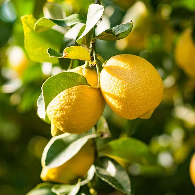 Santa Marinella, dai fiori ai limoni per creare nuovi posti di lavoro