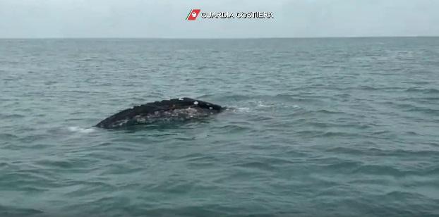 Fiumicino: la Guardia Costiera davanti a un giovane esemplare di balena grigia