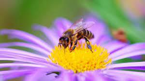 GIORNATA MONDIALE DELLE API SENTINELLE   Lezioni a scuola, seminari e riconoscimenti agli apicoltori