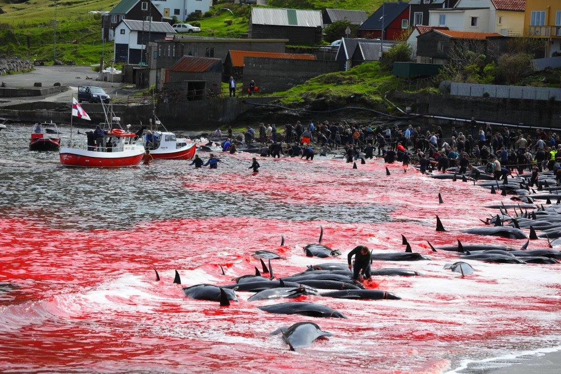 Il silente massacro dei cetacei nelle isole Far Oer