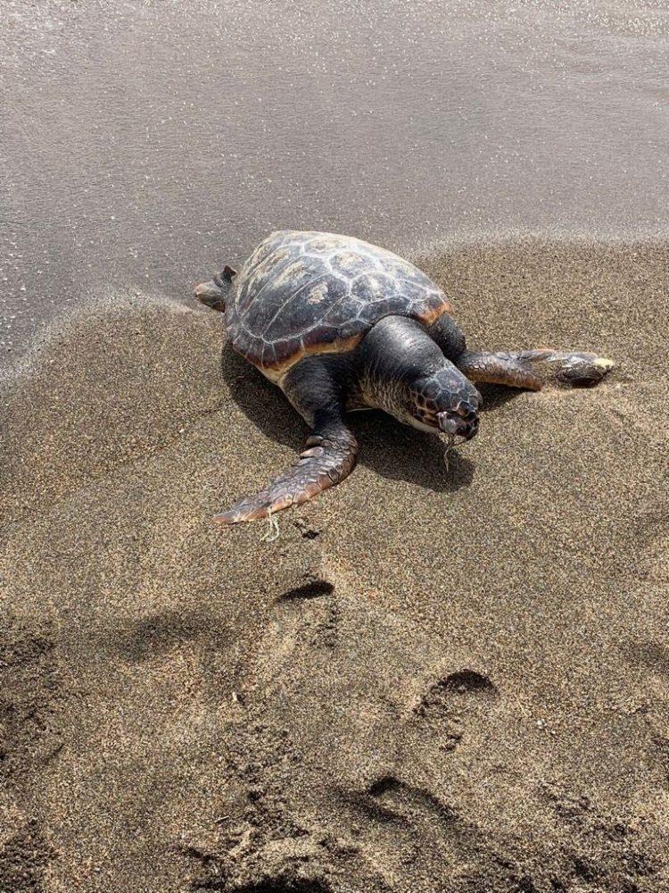 Il mare trasporta a riva la carcassa di una Caretta Caretta